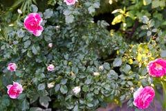 Różowe róże w zieleń ogródu tle zdjęcie stock