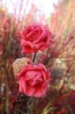 Różowe róże z waterdrops Zdjęcia Royalty Free