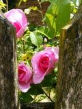 Różowe róże za podławym ogrodzeniem Zdjęcia Royalty Free