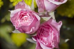 Różowe sympatii róże Obraz Stock