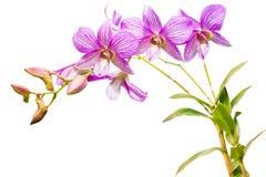 Różowe tajlandzkie orchidee dalej odizolowywają. Obrazy Stock