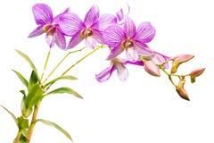 Różowe tajlandzkie orchidee dalej odizolowywają. Zdjęcia Stock