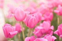 różowe tulipany tło Zdjęcia Royalty Free
