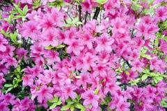 Różowe wiosen azalie zdjęcie royalty free