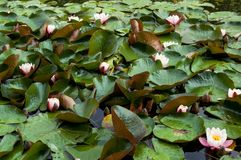 Różowe wodne leluje, natury tło fotografia stock