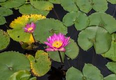 Różowe wodne leluje w stawie obraz royalty free