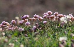 Różowego dennego oszczędzania nabrzeżni kwiaty z kamieniarstwo pszczoły karmieniem fotografia stock