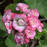 Różowego i białego kwiatu grono fotografia stock