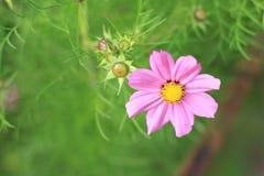 Różowego kwiatu lila stokrotka z zielonym zamazanym tłem zdjęcia royalty free