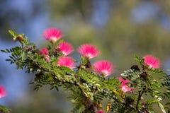 Różowego kwiatu Prochowy chuch lub Kierowniczy Prochowy chuch zdjęcia royalty free