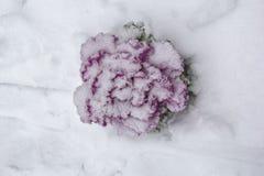 Różowego lilego koloru Brassica Oleracea Ornamentacyjna kapusta w zimie, pod śnieżnym, odgórnym widokiem, obraz stock