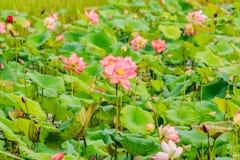 Różowego lotosowego kwiatu i Lotosowego kwiatu rośliny Zdjęcie Stock