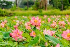 Różowego lotosowego kwiatu i Lotosowego kwiatu rośliny Zdjęcia Stock