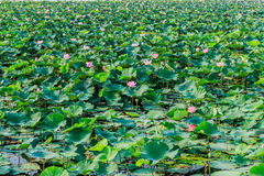 Różowego lotosowego kwiatu i Lotosowego kwiatu rośliny Obraz Royalty Free