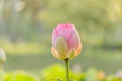 Różowego lotosowego kwiatu i Lotosowego kwiatu rośliny Obraz Stock