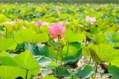 Różowego lotosowego kwiatu i Lotosowego kwiatu rośliny Fotografia Stock