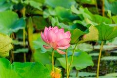 Różowego lotosowego kwiatu i Lotosowego kwiatu rośliny Zdjęcie Royalty Free