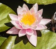 Różowego lotosowego kwiatu i Lotosowego kwiatu rośliny Zdjęcia Royalty Free