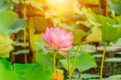 Różowego Lotosowego kwiatu i Lotosowego kwiatu rośliny w zmierzchu Zdjęcie Royalty Free
