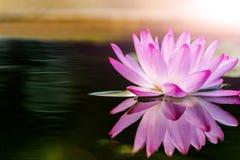 Różowego lotosowego kwiatu i Lotosowego kwiatu rośliny Fotografia Royalty Free