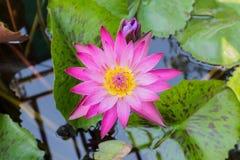 Różowego lotosowego kwiatu lub wodnej lelui kwiaty. Fotografia Stock