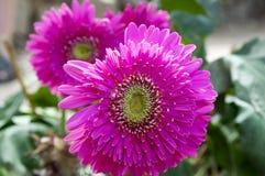 Różowego purpurowego gerbera kwiatonośne rośliny fotografia royalty free