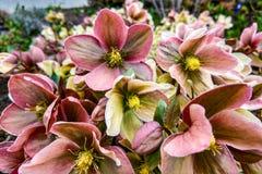 Różowego skinienia clematis kwitnąca marskość Clematis Piilu fotografia royalty free