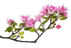 Różowej jabłoni odosobniona kwiecista gałąź zdjęcie royalty free