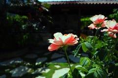 3 różowej róży w brukującej bujny zieleni uprawiają ogródek Zdjęcia Royalty Free
