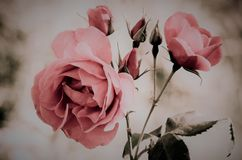 Różowej rocznik róży rozmyty tło obrazy royalty free