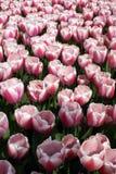 różowią białe kwiaty Zdjęcia Royalty Free