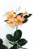 różowią białe kwiaty Obraz Royalty Free
