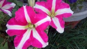 różowią białe kwiaty Obrazy Royalty Free