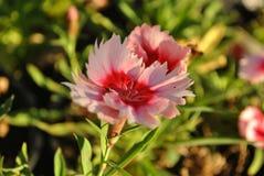 różowią czerwone kwiaty obrazy stock