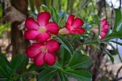 różowią czerwone kwiaty Zdjęcie Royalty Free