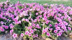 różowią czerwone kwiaty Zdjęcia Stock