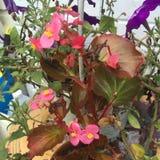 różowią fioletowe kwiaty Zdjęcia Royalty Free