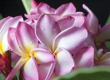 Różowi Żółci Pulmeria kwiaty 2 Zdjęcie Royalty Free