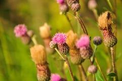 Różowi łopianów kwiaty Agrimony Oset makro- fotografia Fotografia Royalty Free