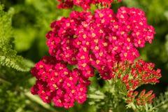 Różowi Achillea milefolium kwiaty Zdjęcia Stock