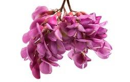 Różowi akacja kwiaty zdjęcie stock