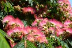 Różowi akacja kwiaty fotografia stock
