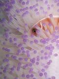 Różowi anemonefish w bielącym anemonie Fotografia Royalty Free