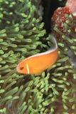 Różowi anemonfish obrazy royalty free