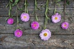 Różowi astery zdjęcie royalty free