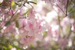Różowi azalii drzewa okwitnięcia Obraz Royalty Free