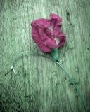 Różowi Azjatyccy pigeonwings obraz stock