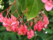 Różowi begonia kwiaty, Sydney Królewscy ogródy botaniczni zdjęcie royalty free