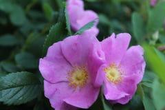 Różowi bliźniacy w południe dnia słońcu zdjęcia royalty free