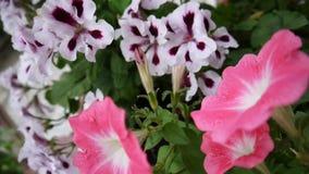 Różowi bodziszka i petuni kwiaty na flowerbed HD wideo statyczna kamera zdjęcie wideo